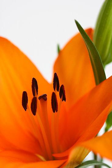 Orange flower, lily