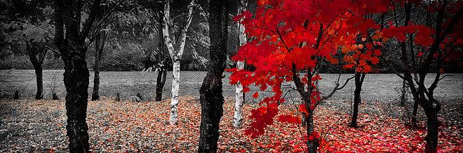 Autumn Trees, Bright, Victoria, Australia