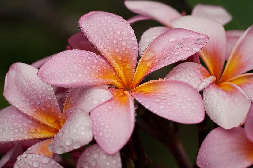 Pink Frangipanis flower