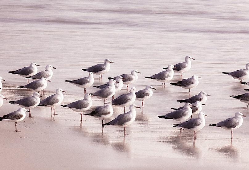 Seagulls,  Montebello Island, North Western Australia