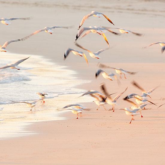 Flying Seagulls,  Montebello Island, North Western Australia