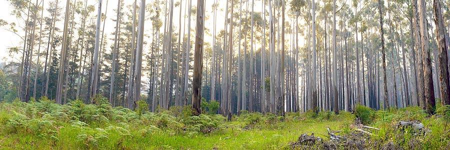 Forest, Pemberton South Western Australia