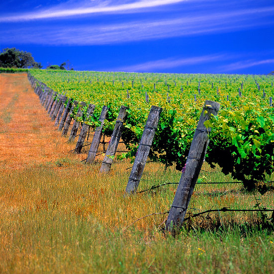Winery, grape vines, Margaret River, South Western Australia