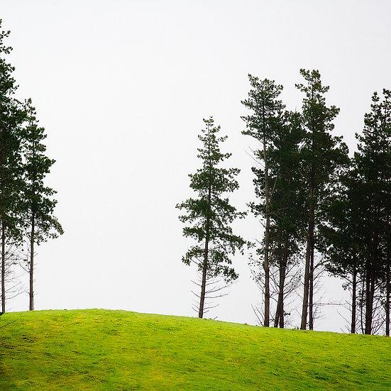 Pine Trees, South Western Australia