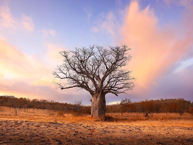 BOAB TREE, KIMBERLEY, NORTH WESTERN AUSTRALIA