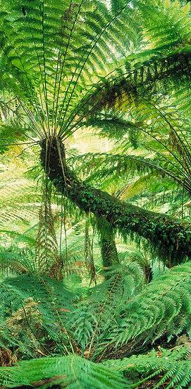 Tree Fern, Victoria, Australia