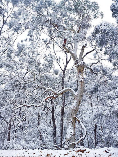 Snow Covered Trees, Lithglow, New South Wales, Australia