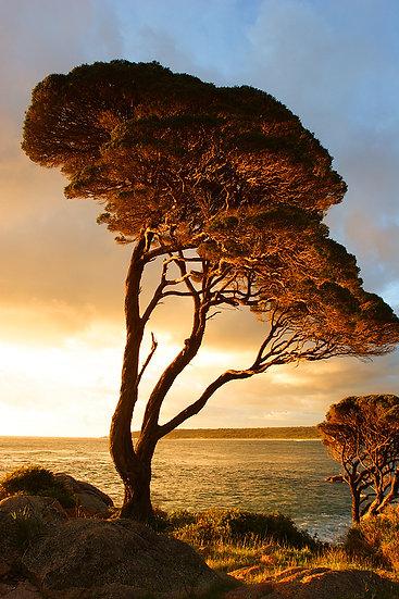 Sunrise, Melaleuca tree, Bunker Bay, South Western Australia