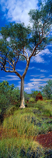 Ghost Gum Tree, Karijini National Park, Pilbara, North Western Australia