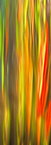 Rainbow Gum Trees Hawaii