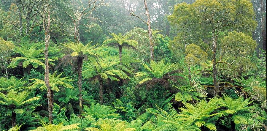 Tarra-Bulga National Park, Gippsland, Victoria, Australia