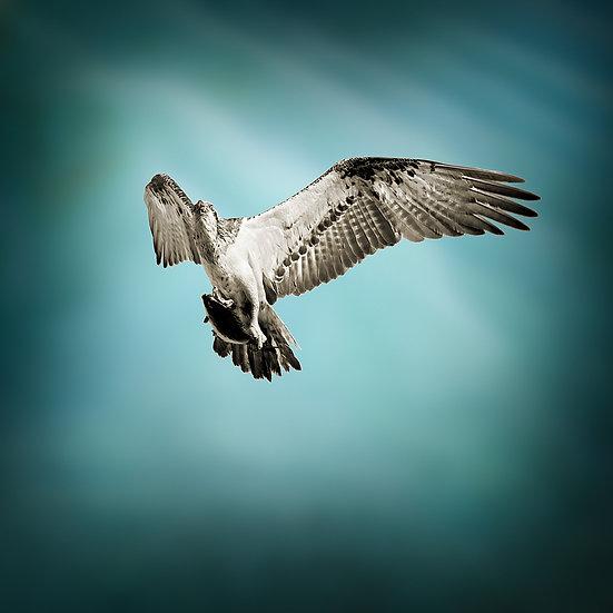 Osprey, Montebello Island, North Western Australia