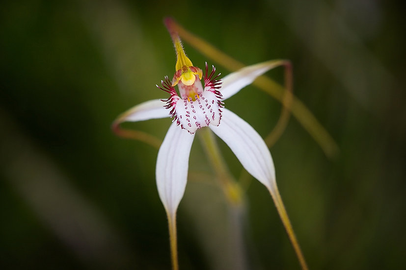 Flower, wildflower, orchid, South Western Australia