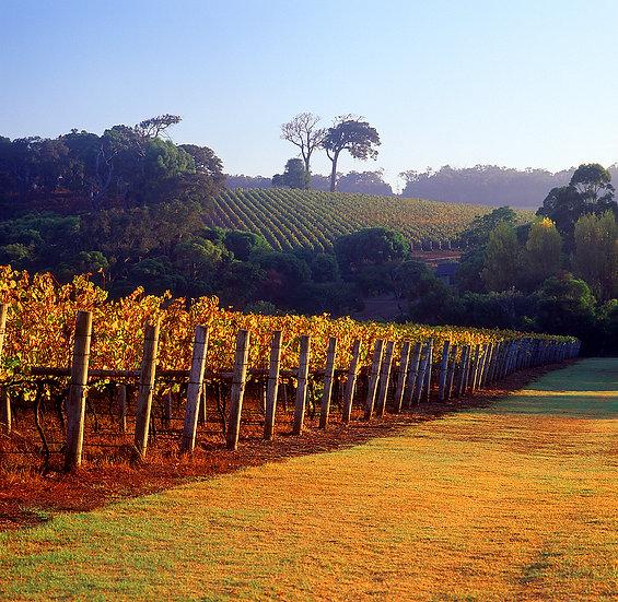 Grape Vines,Winery, Brookland Valley Estate, South Western Australia
