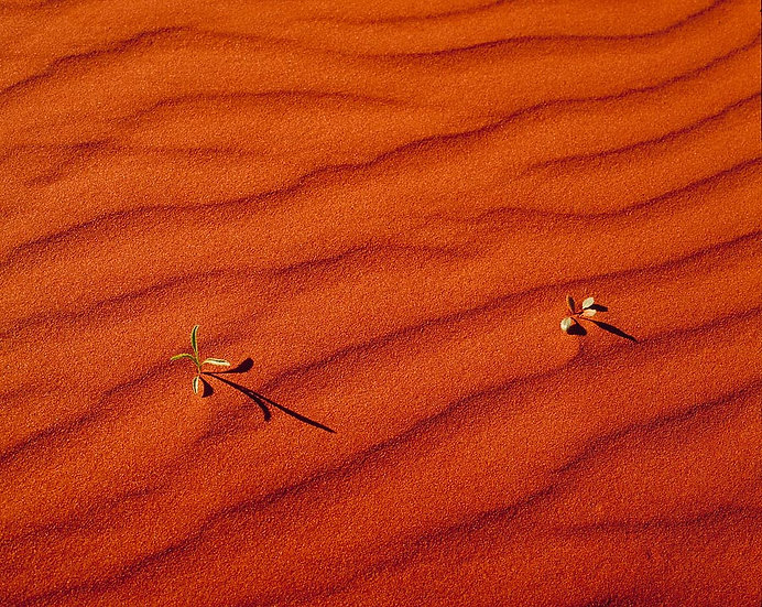 Plant saplings in the red dunes