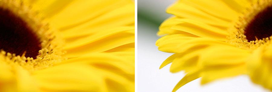 Yellow Gerbera Compilation