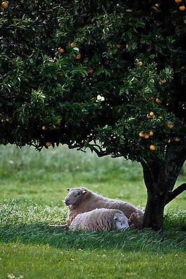 Sheep under an orange tree