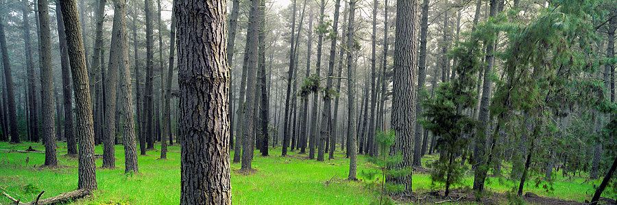 Pine Forest, Nannup, South Western Australia