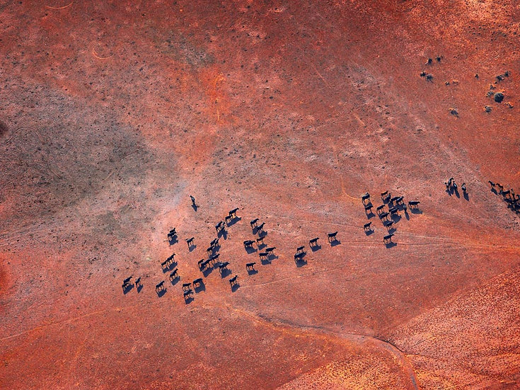 Herd of Cattle, Aerial