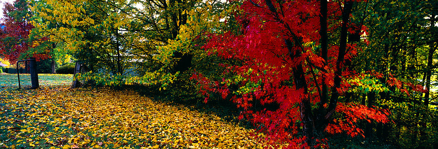 Red tree, autumn colours, New South Wales, Australia