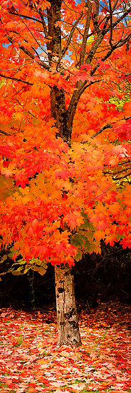 Red Autumn Tree, Victoria, Australia
