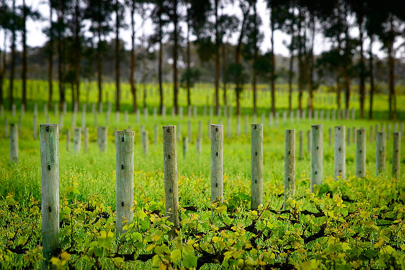 Grape vines at Vasse Felix Winery, Margaret River, South Western Australia