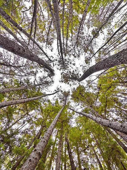 Karri Trees Pemberton, Western Australia