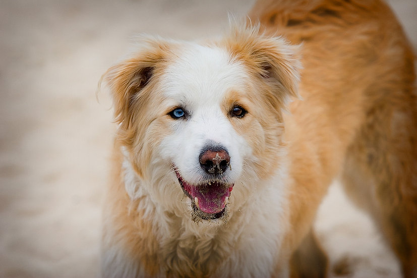 Red and white border collie dog