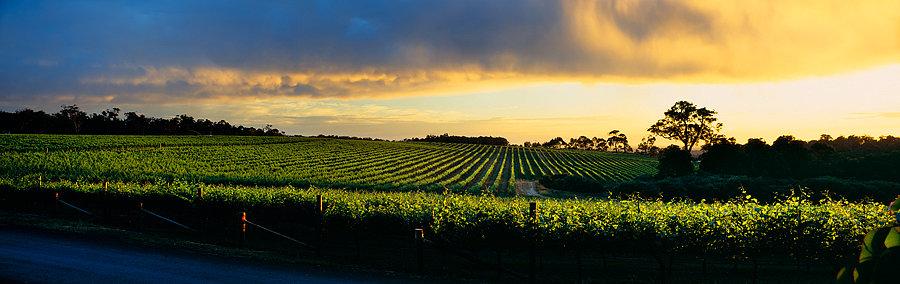 Grape vines, Winery, Margaret River region, South Western Austral