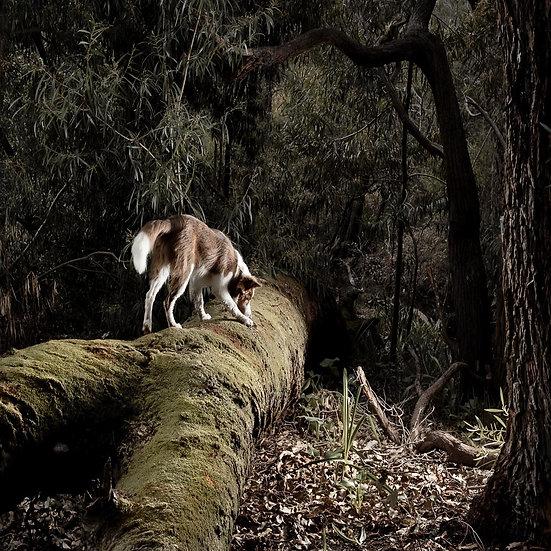 Chocolate Border Collie on a log, Dog