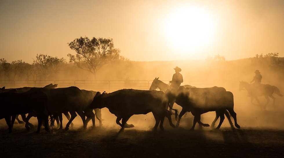 Cattle muster at Home Valley Station, Kimberley, North Western Aust
