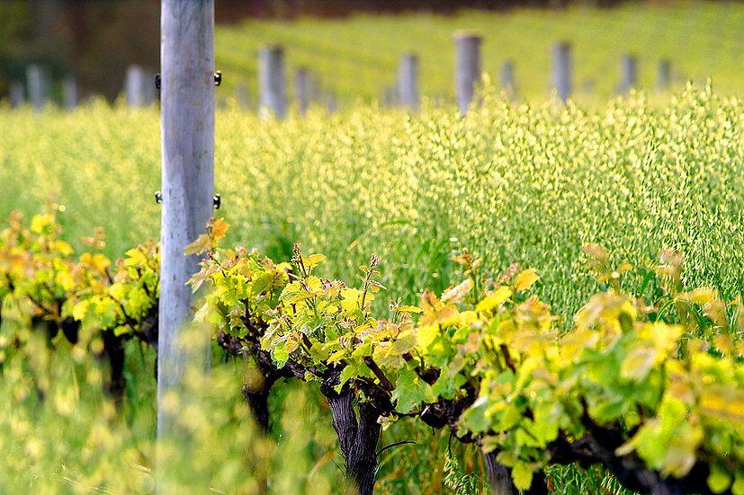 New grape vines at Vasse Felix Winery, Margaret River, SW Australia