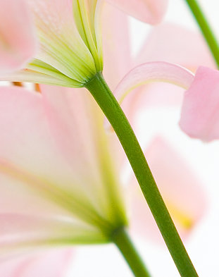 Pink flower, lily