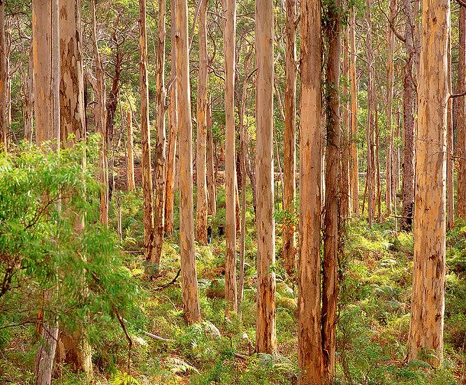 Boranup Karri Forest, Margaret River, South Western Australia