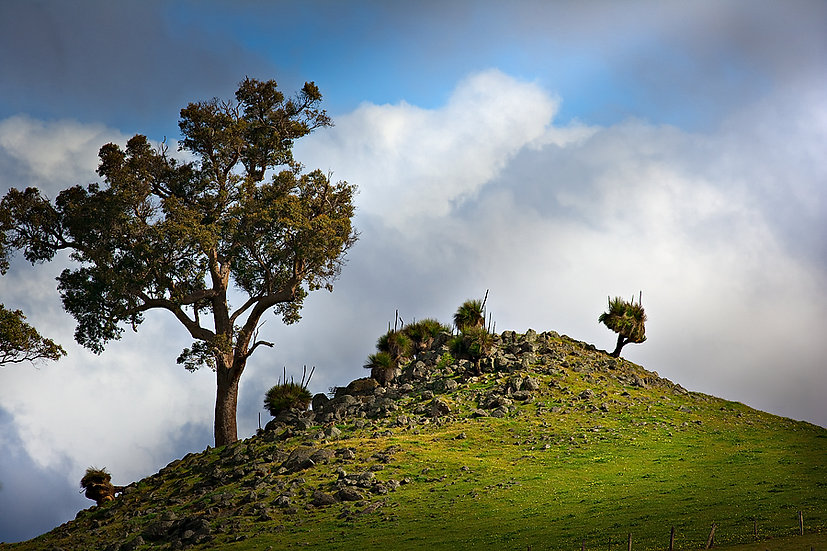 Grasstrees and Marri tree on a rocky outcrop, South Western Australia