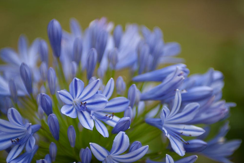 Purple blue Agapanthus flowers