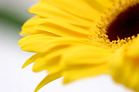 Flower, Yellow Gerbera