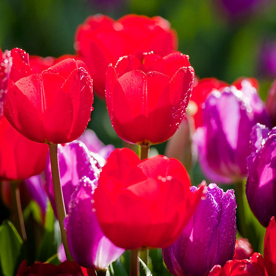 Flowers, Tulips.