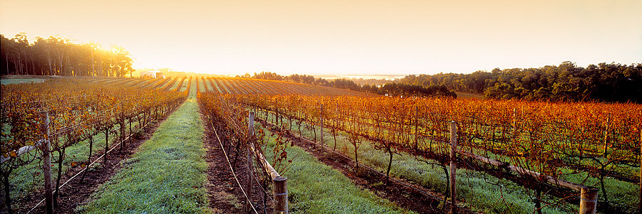 Grape vines, Abbey Vale Vineyard, Yallingup, South Western Australia