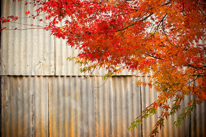Tin Shed and Japanese Maple