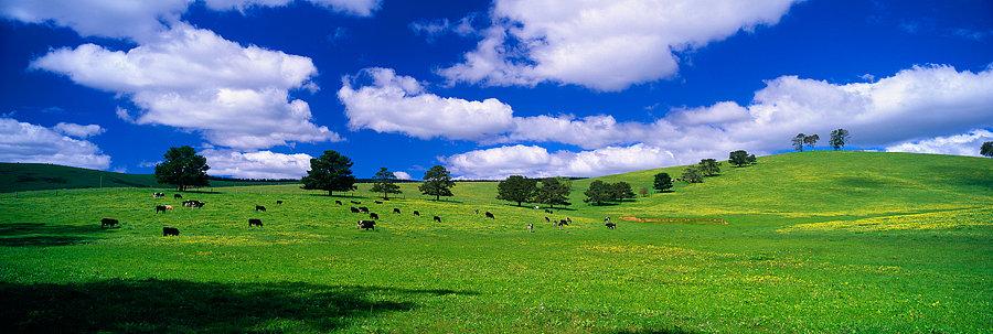 Herd of Cows, Pemberton, South Western Australia