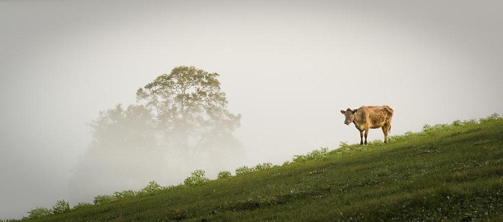 Cow Bridgetown, Western Australia