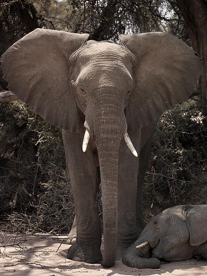 African Elephant , Namibia, Africa