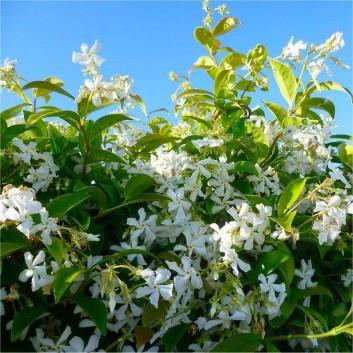 Star shaped jasmine blossom