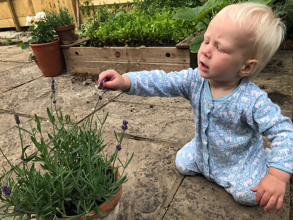 inspecting a lavender plant