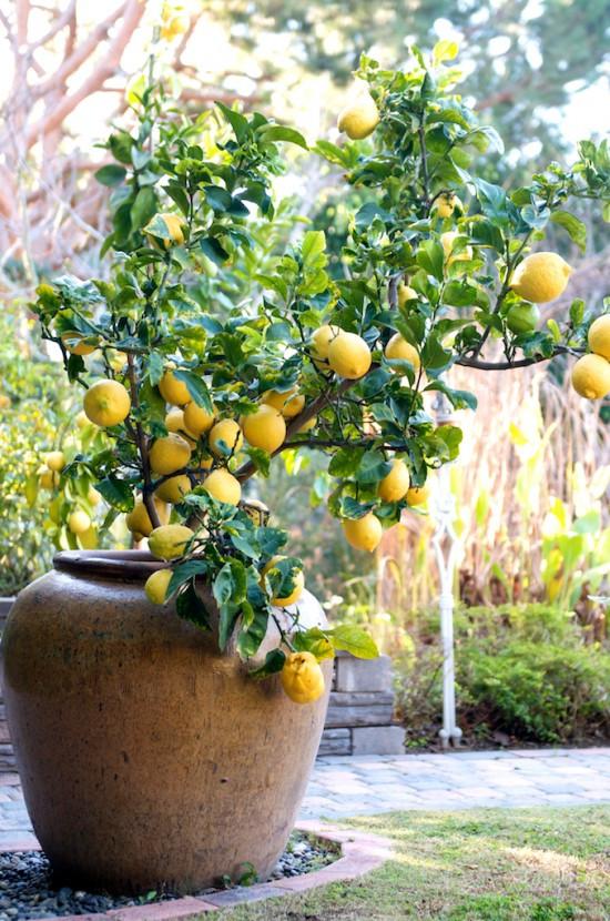 lemon tree in a terracotta pot