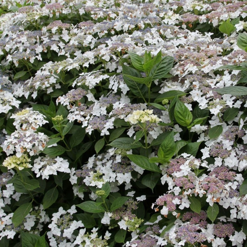 Lanarth White lacecap hydrangea