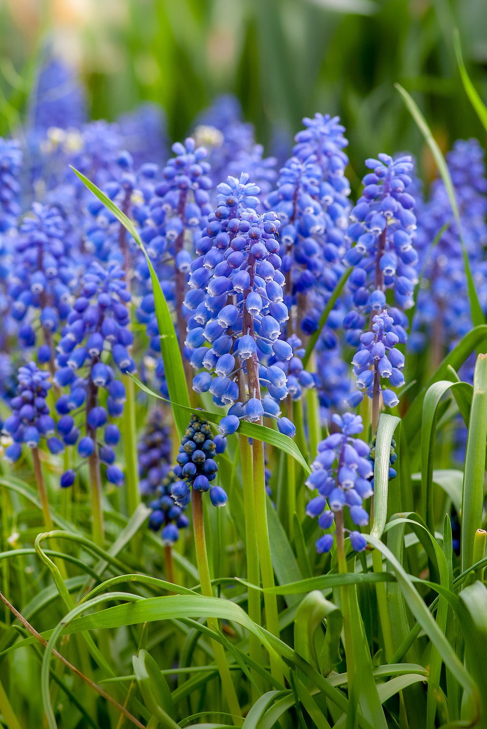 Mescari or grape hyacinth