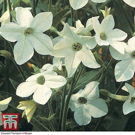 white tobacco plant