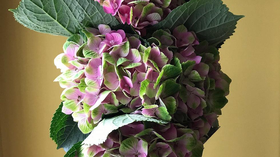 Hydrangeas - 5 stems